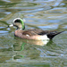 Wigeon Duck by fntngrma