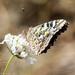 Fluttering beauty by flyrobin