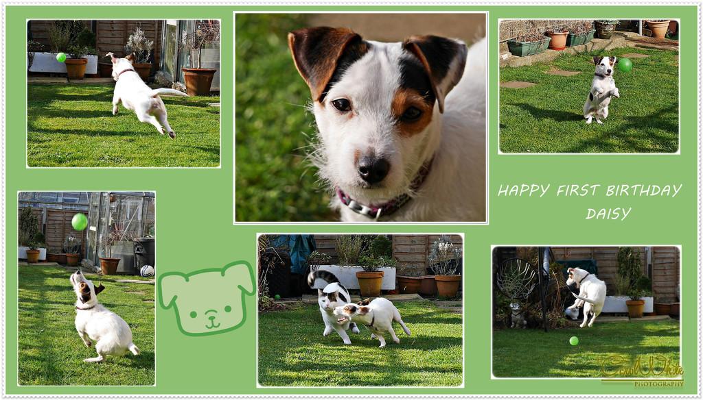 Happy First Birthday,Daisy by carolmw