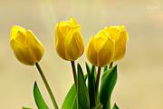 1st Apr 2015 - Four tulips
