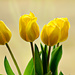 Four tulips by elisasaeter