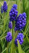 1st Apr 2015 - Grape hyacinths