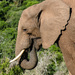 Elephant by salza
