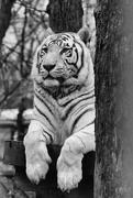 1st Apr 2015 - Black & White Tiger