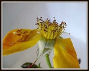 1st Apr 2015 - The end of a rose