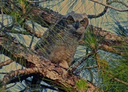 1st Apr 2015 - Young Great Horned Owl