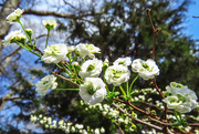 1st Apr 2015 - Such Little Blooms to Make Such a Statement