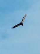 1st Apr 2015 - Turkey Vulture (watch you pets)