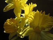 1st Apr 2015 - Daffodils for Narlene