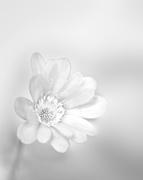 2nd Apr 2015 - Anemone softness...