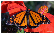2nd Apr 2015 - Monarch on Hibiscus ..