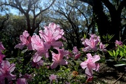 2nd Apr 2015 - Azaleas, Charles Towne Landing State HIstoric Site, Charleston, SC
