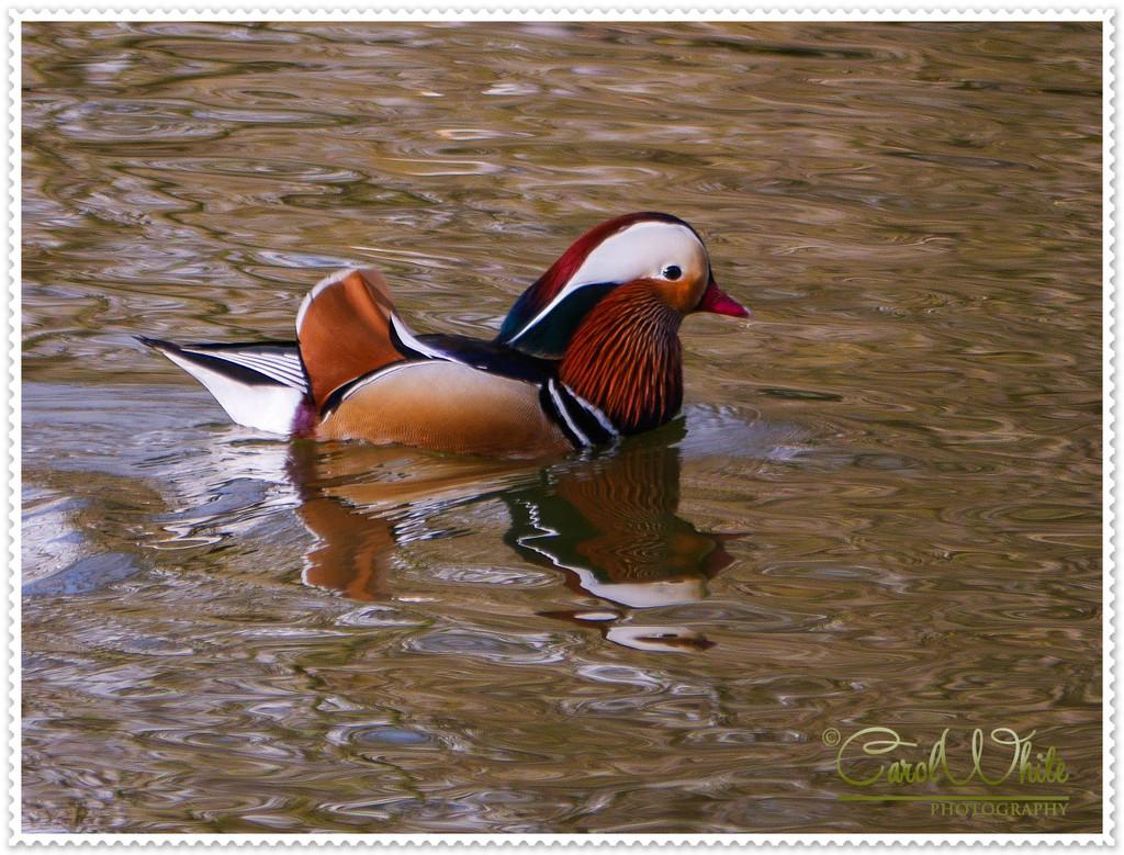 Mandarin Duck by carolmw