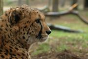 2nd Apr 2015 - Cheetah