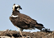 2nd Apr 2015 - The osprey are back on Cape Cod