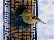 2nd Apr 2015 - Goldfinch