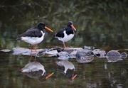 3rd Apr 2015 - Oyster catchers