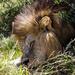Sleeping Lion by salza
