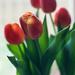 Get well tulips by loweygrace