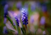 3rd Apr 2015 - Grape Hyacinth