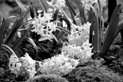 2nd Apr 2015 - Too much rain on the hyacinth