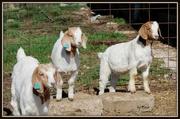 4th Apr 2015 - Three Billy Goats Gruff!