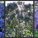 Jacaranda Beauty by mozette