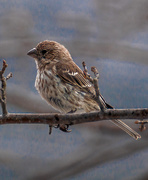 4th Apr 2015 - Female House Finch