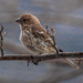Female House Finch by joansmor