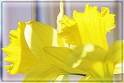 4th Apr 2015 - Daffodil Joy