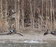 5th Apr 2015 - Blue-winged Teal