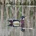 ~Wood Duck~ by crowfan