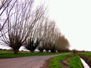 4th Apr 2015 - More Crack Willows