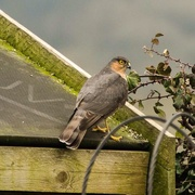 5th Apr 2015 - Sparrow hawk