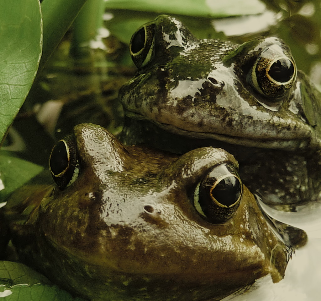 Frogs  by phil_howcroft