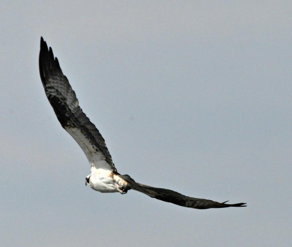 Osprey in flight......... by sailingmusic