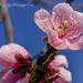 Peach Flower by tonygig