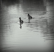1st Apr 2015 - Black and white geese
