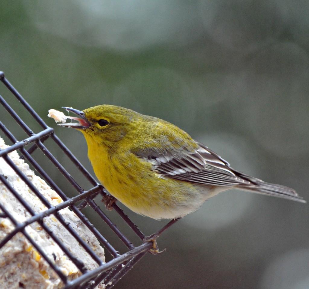 Pine warbler's tongue by sailingmusic