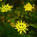(Day 52) - Happy Daisy by cjphoto