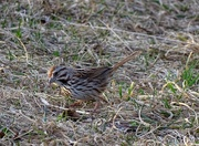 7th Apr 2015 - Song Sparrow in the Setting Sun
