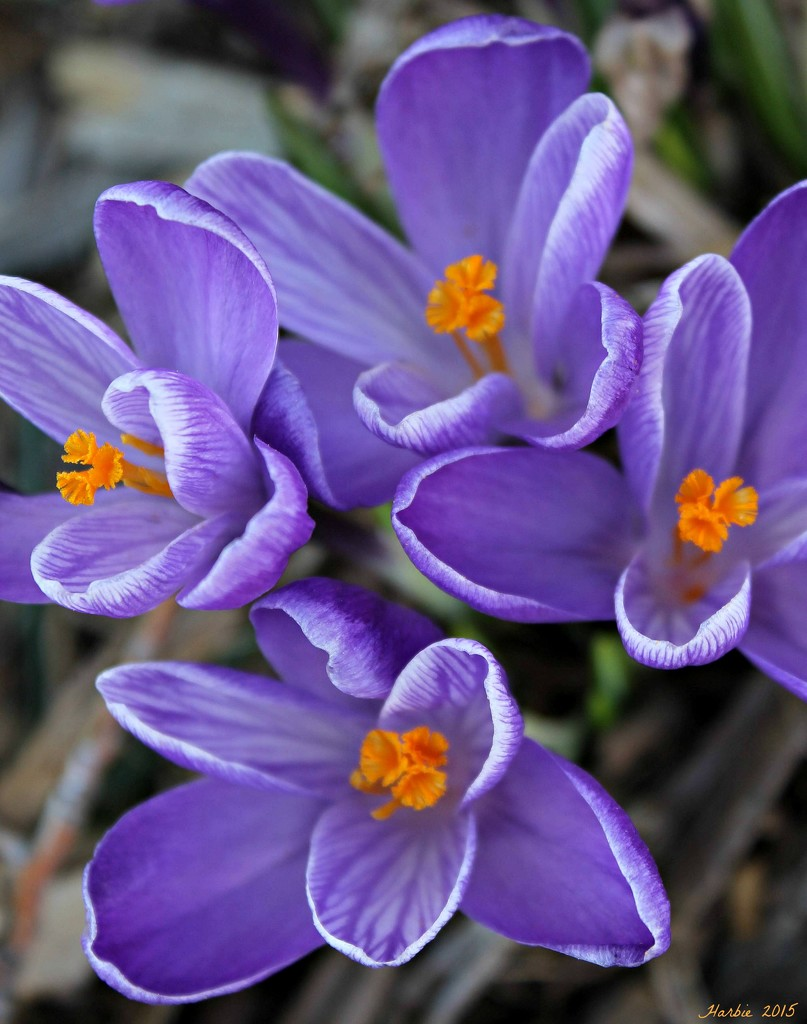 More Crocuses by harbie