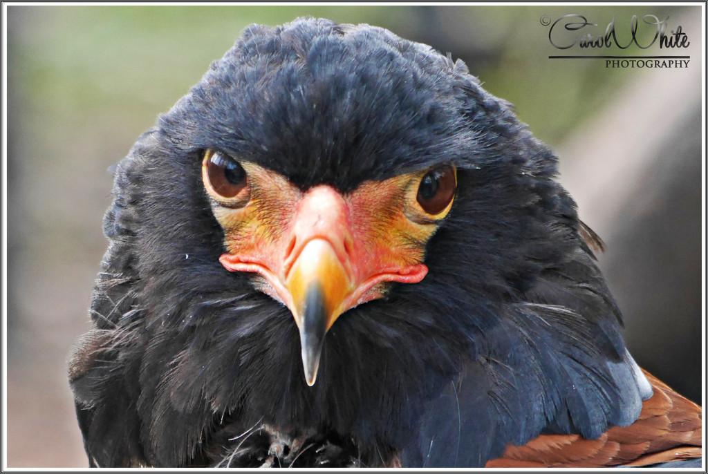 Bateleur Eagle by carolmw