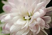 7th Apr 2015 - Closeup of my chrysanthemum