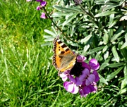 7th Apr 2015 - First Butterfly.
