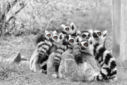 7th Apr 2015 - Ring-tailed Lemurs