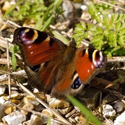 7th Apr 2015 - Peacock butterfly