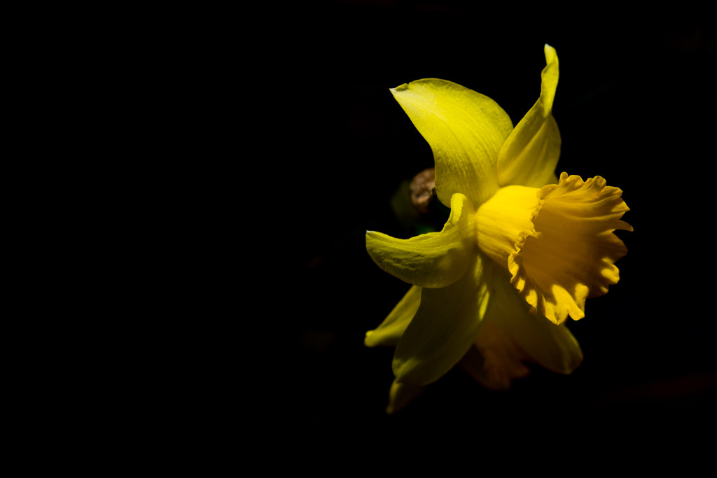 Day 092, Year 3 - Solo Sunlit Daffodil  by stevecameras