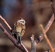 7th Apr 2015 - Tree Sparrow