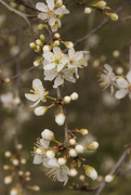 8th Apr 2015 - Blackthorn